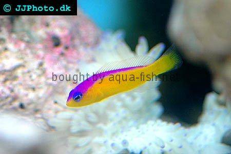 Diadem Dottyback picture no. 1