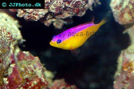 Diadem Dottyback picture no. 2