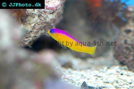 Diadem Dottyback picture no. 3