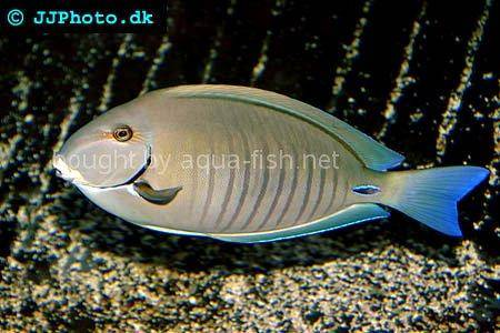 Doctorfish - photo#12
