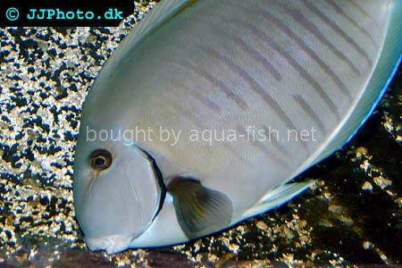 Doctorfish, picture no.2