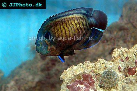 Dusky Angelfish picture