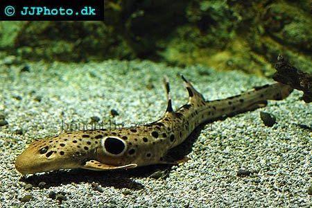 epaulette shark tank - photo #23
