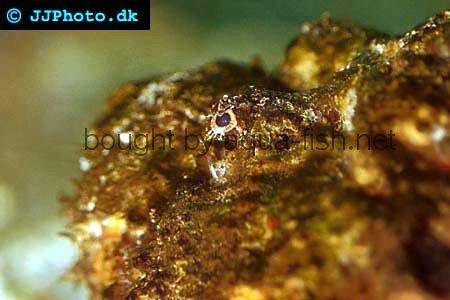 Estuarine Stonefish picture no. 1