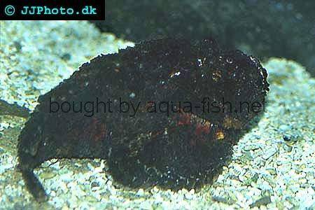 Estuarine Stonefish picture no. 2