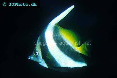 False Moorish Idol picture
