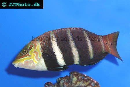 Five Banded Wrasse picture