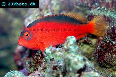 Flame Hawkfish picture 1