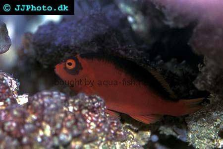 Flame Hawkfish picture 2