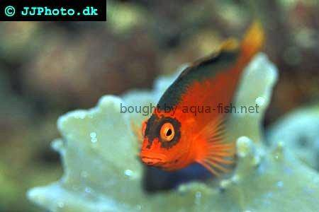 Flame Hawkfish picture 3