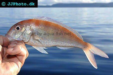 Fork-Tailed Threadfin Bream picture