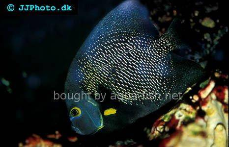 French Angelfish picture 3, adult specimen