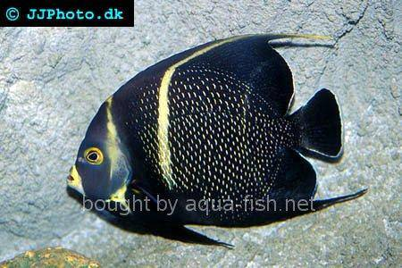French Angelfish picture 4, adult specimen