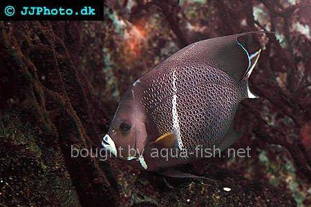 French Angelfish picture 5, adult specimen