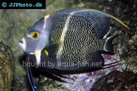 French Angelfish picture 6, adult specimen