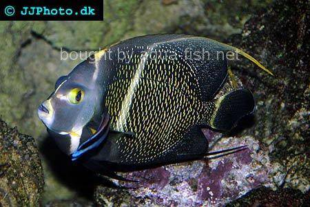 French Angelfish picture 7, adult specimen
