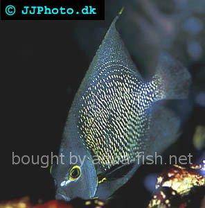 French Angelfish picture 8, adult specimen