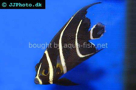 French Angelfish picture 1, juvenile specimen