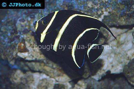 French Angelfish picture 2, juvenile specimen
