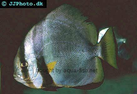 Golden Spadefish picture