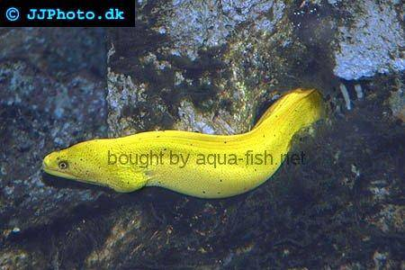 Goldentail Moray picture no. 1