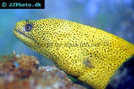 Goldentail Moray picture no. 2
