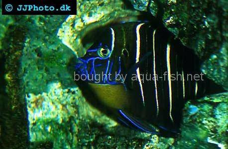 Goldtail Angelfish, picture no. 1