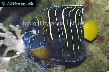 Goldtail Angelfish, picture no. 2