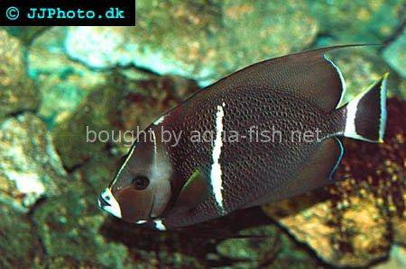 Gray Angelfish, adult specimen picture 1