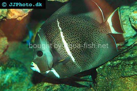 Gray Angelfish, adult specimen picture 2