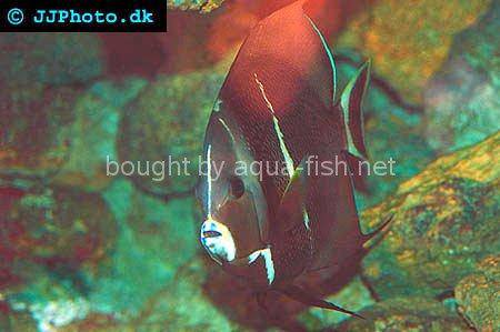 Gray Angelfish, adult specimen picture 3