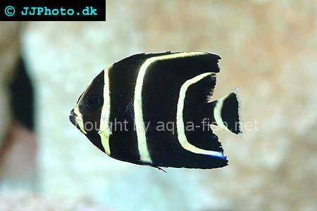 Gray Angelfish, juvenile specimen