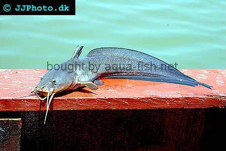 Gray Eel-Catfish picture