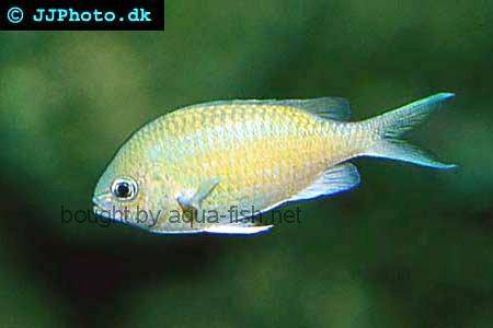 Green Chromis picture