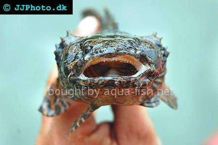 Grunting toadfish, picture no. 1