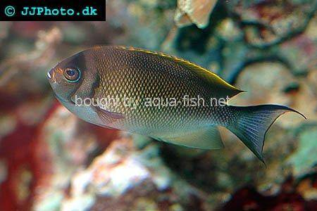 Halfbanded Angelfish picture
