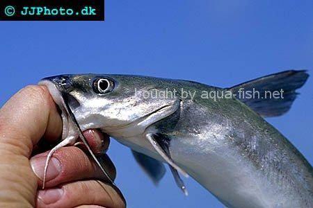 Aquarium shark catfish - photo#32
