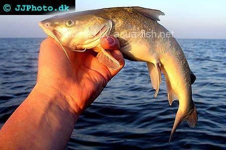 Hardhead Catfish Hardhead sea catfish, picture
