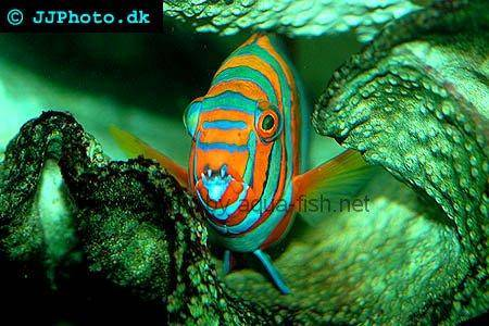 Harlequin Tuskfish picture no. 1