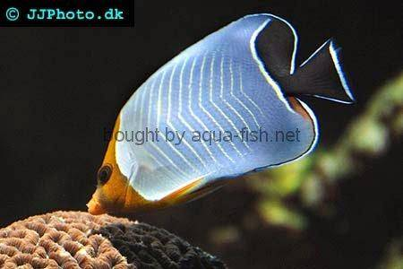 Hooded Butterflyfish, picture 1
