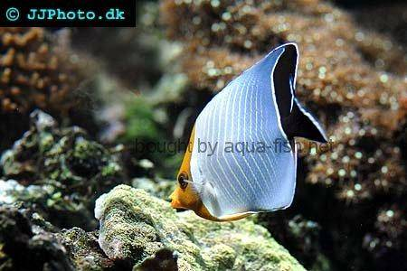 Hooded Butterflyfish, picture 2