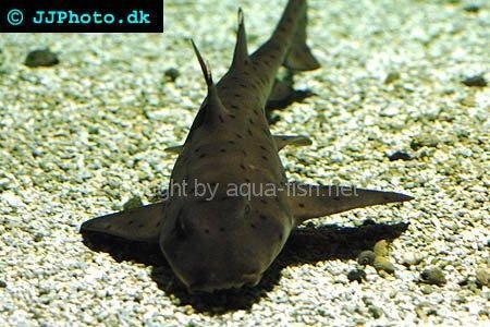 Horn Shark picture no. 1