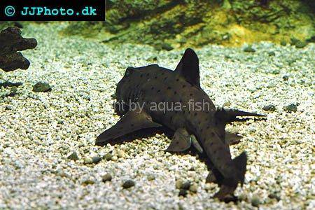 Horn Shark picture no. 2