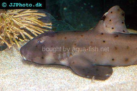 Horn Shark picture no. 3