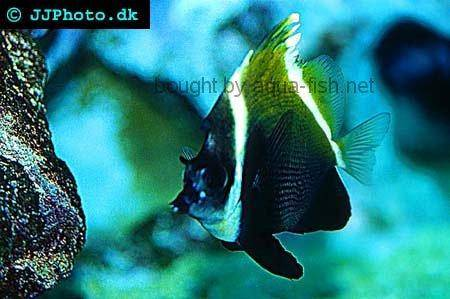 Horned Bannerfish picture