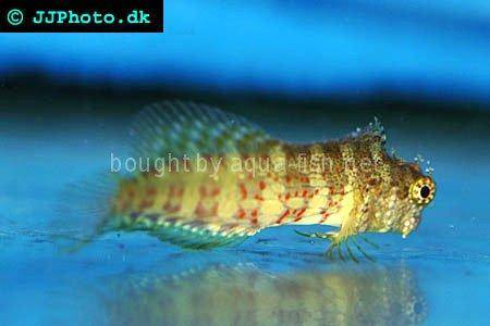 Jewelled Blenny picture 1