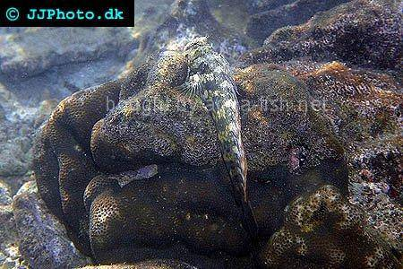 Jewelled Blenny picture 2
