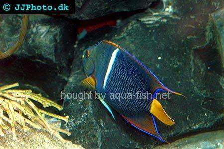 King Angelfish picture no. 1