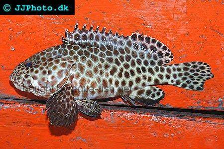 Longfin Grouper picture