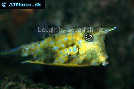 Longhorn Cowfish picture no. 1